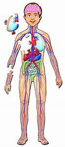 Full Body Anatomy Picture