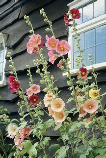 hollyhocks flowers gardening garden plants flowers