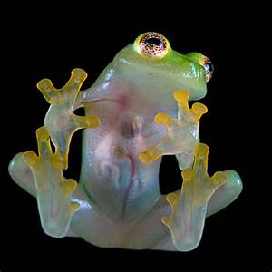 Glass Frog - UNUSUAL ANIMALS
