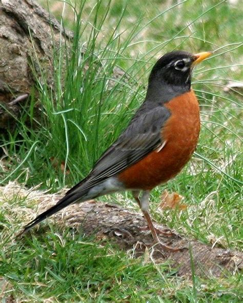 robin state bird ct birds of a feather pinterest