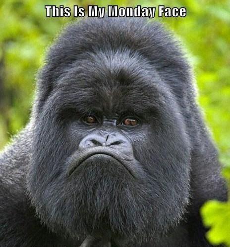 gorilla  funny facial expression luvbat