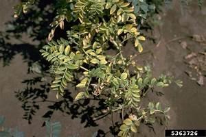 Bean Leaf Roll Virus  Luteovirus Blrv   On Chickpea  Cicer