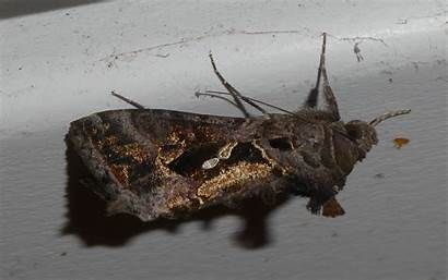 Moths Eason Simpson Chrysodeixis Recorded
