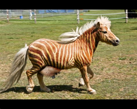 mixed zebra horse cow animals animal mashups horses shorecrest runge prep class donkey combined different three donkeys mashup