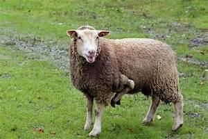 Le Mouton A 5 Pattes : le mouton 5 pattes existe et il est vendre www ~ Louise-bijoux.com Idées de Décoration