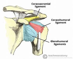 Image Gallery shoulder ligaments