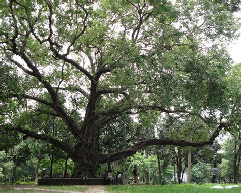 bodhi tree images ashoth bodhi tree ficus religiosa