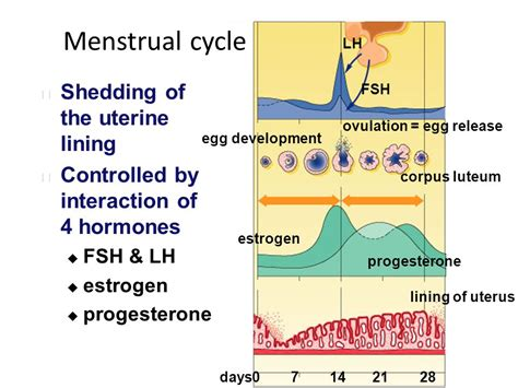Shedding Of Uterine Lining After Menopause by Menstrual Cycle Shedding Of The Uterine Lining Ppt