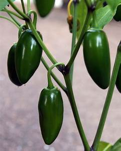 Jalapeno Pepper Plant: Growing And Caring For Jalapeno Peppers