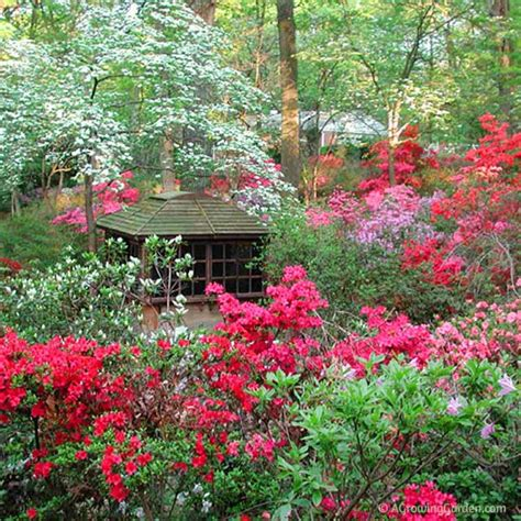 growing rhododendrons growing azaleas missing our northern virginia yard a bit