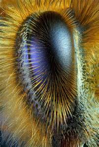 Honey Bee Compound Eye