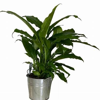 Plant Indoor Flowers Sunshine Coast Aussie Plants