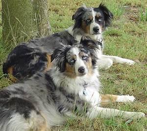Australian Shepherds Genetics - Australian Shepherd Tips ...