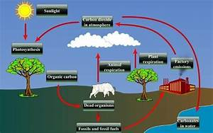 Describe The Carbon Cycle In Detail With Diagram Its