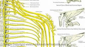Nervous System Anatomical Chart Vertebral Subluxation Spinal Nerves Chart