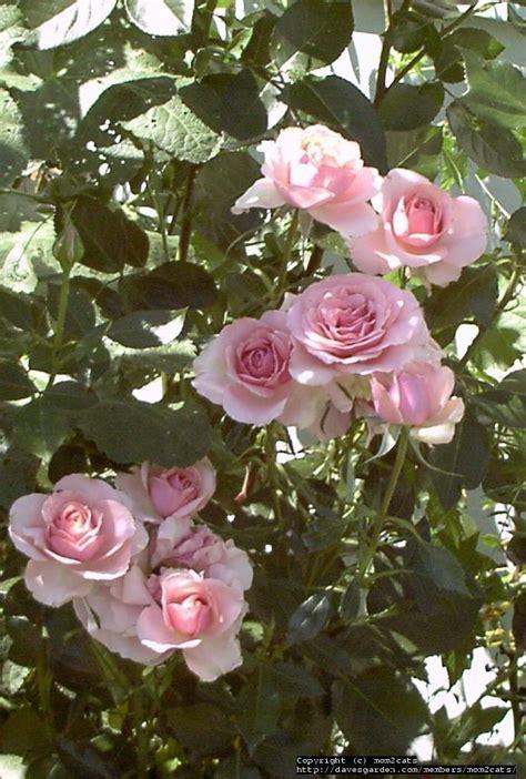 plantfiles pictures floribunda grandiflora rose