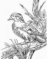 Duck Coloring Wood Pages Hunting Ducks Printable Drawing Dog Print Line Clipart Realistic Drawings Coon Colouring Mallard Real Wild Getdrawings sketch template