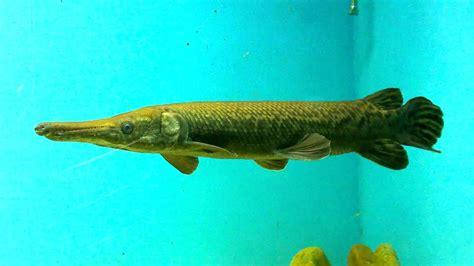 alligator gar fish  freshwater aquarium youtube