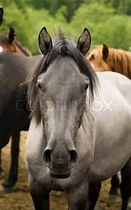 One grey horse head front view look at camear | Stock ...