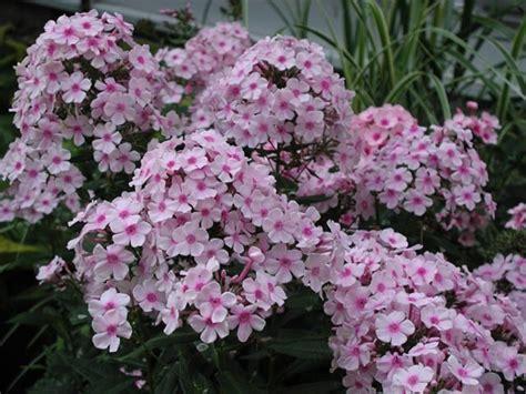 pictures of phlox flowers phlox flowers