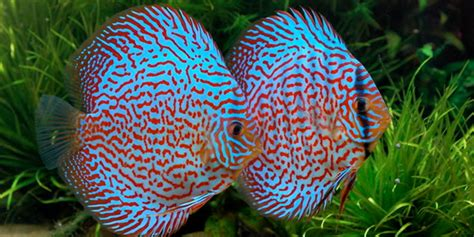 brightly colored fish 10 most colorful freshwater fish the aquarium guide