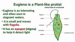 Chapter 19  Protists Euglena Volvox Slime Mold Amoeba