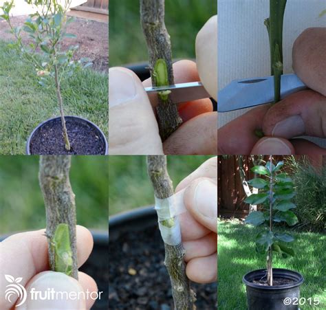 Grafting Citrus Trees  How To Bud Graft Successfully