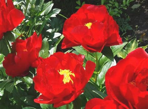 Peonija hibrīdā Mascanic Grand /Paeonia hybrid/ - Peonijas - Katalogs - stadi-sakstagals.lv