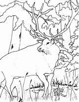 Elk Coloring Forest Looking Drawing Bull Wildlife Getdrawings Colornimbus sketch template