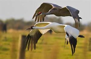 Sandhill Cranes And Whooping Cranes Need Our Help
