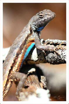 draco volans lizards   flying dragon lizard