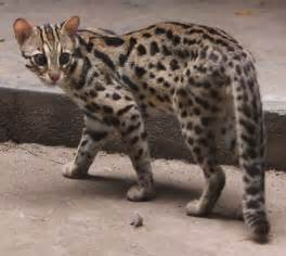 leopard cat cats lynx leopard cat