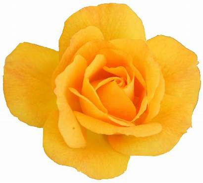 Yellow Rose Transparent Resolution Onlygfx Format Px
