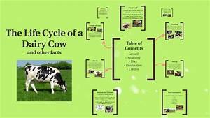 Dairy Cow Life Cycle