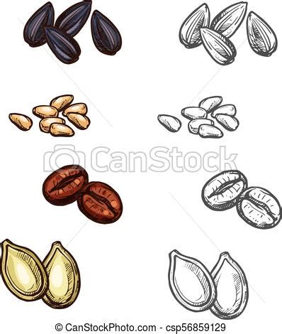Vector hand drawn pattern of coffee seeds. Nuts beans and seeds vector sketch icons. Nuts, beans and seeds color sketch icons vector ...