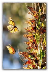 Santa Cruz Natural Bridges State Beach Monarch Butterflies