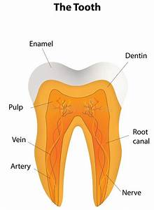 Anatomical Tooth Labeled Diagram Stock Vector