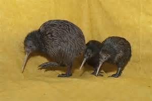 Baby Kiwi Animal