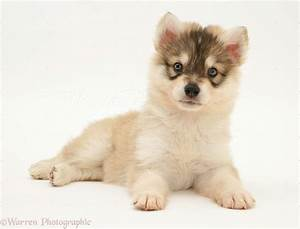 Dog: Utonagan puppy photo WP13088