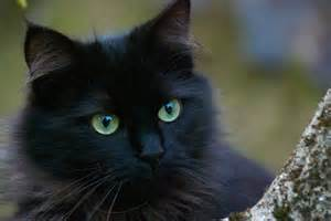 black cats and cats foundation