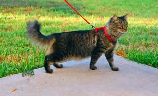 walking a cat what of harness does your cat need adventure cats