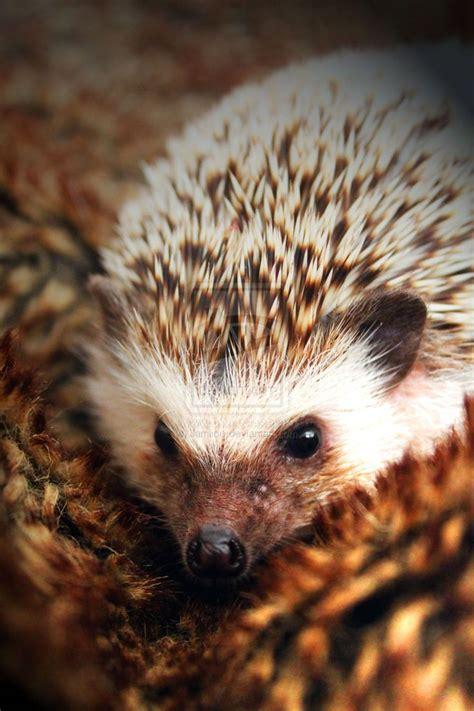 pygmy hedgehog african pygmy hedgehog bing images peanut pygmy cute animals