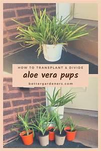 How To Transplant Aloe Vera  U0026 Separate Pups