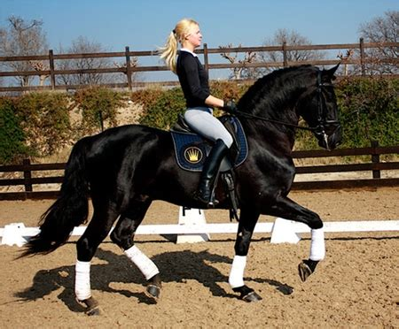 top dressage horses animals background wallpapers