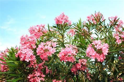 oleander ähnliche pflanzen oleander bl 252 ht nicht so bringen sie die pflanze wieder zum bl 252 hen