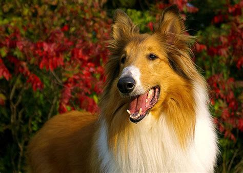 Types Of Dogs That Dont Shed by What Dog Is Lassie Pets Guide