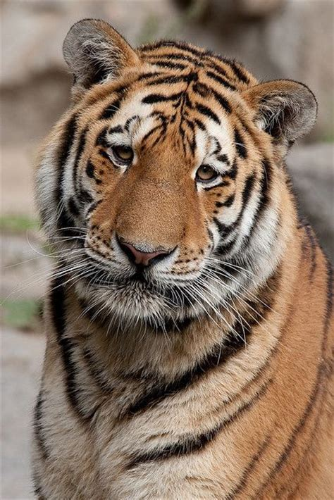 Best Images About Eye The Tiger Pinterest
