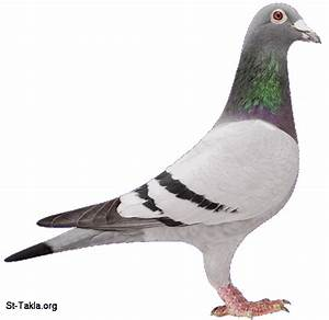 Image Pigeon 01