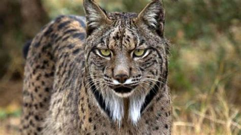 iberian lynx deal andalusia wikimedia commons drones endangered develop reaches firm track private save help es via