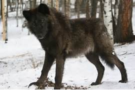 Wolf Dog mix  if they ...